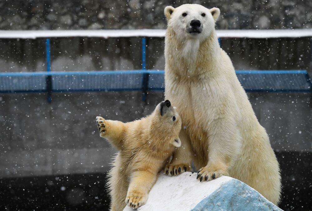 Ursa polar Gerda e ursinho no Zoológico de Novosibirsk, Rússia
