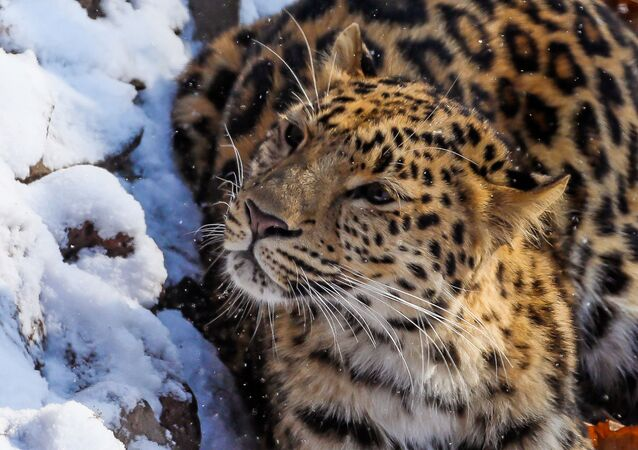 Leopardo-de-amur no Extremo Oriente da Rússia