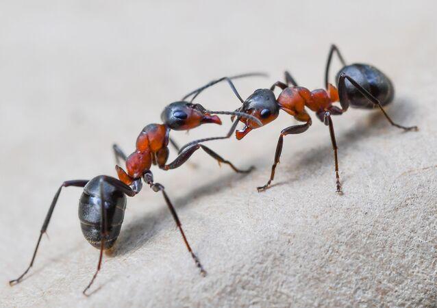 Duas formigas vermelhas da madeira europeias (Formica polyctena) em uma floresta perto de Birkenwerder, no nordeste da Alemanha
