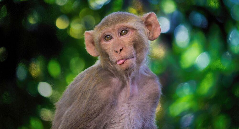 Macaco (imagem referencial)