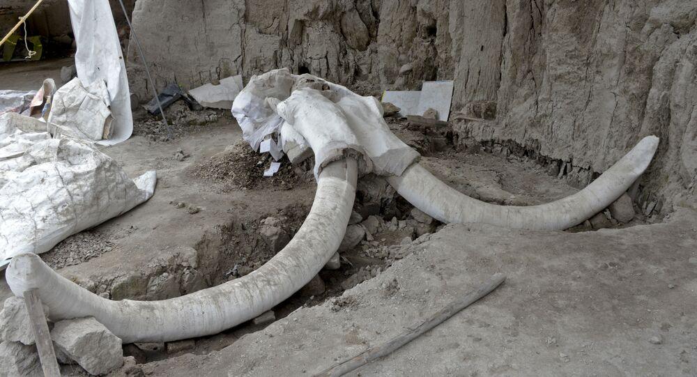 Presas gigantes e ossos de mamute em Tultepek, México, 6 de novembro de 2019