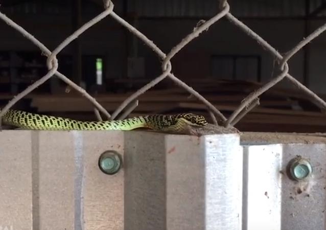 Cobra devora sapo