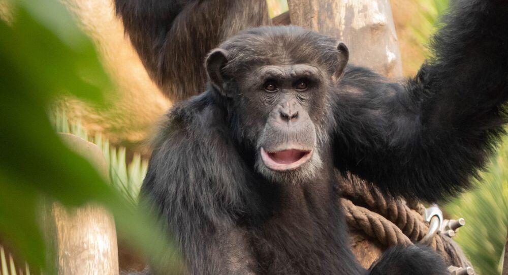 Chimpanzé (imagem referencial)