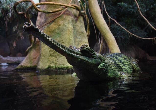 Crocodilo gavial (Gavialis gangeticus) no Zoológico de Praga, República Tcheca