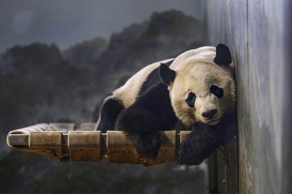 Panda gigante Bei Bei descansando no Jardim Zoológico Nacional do Smithsonian em Washington, Estados Unidos
