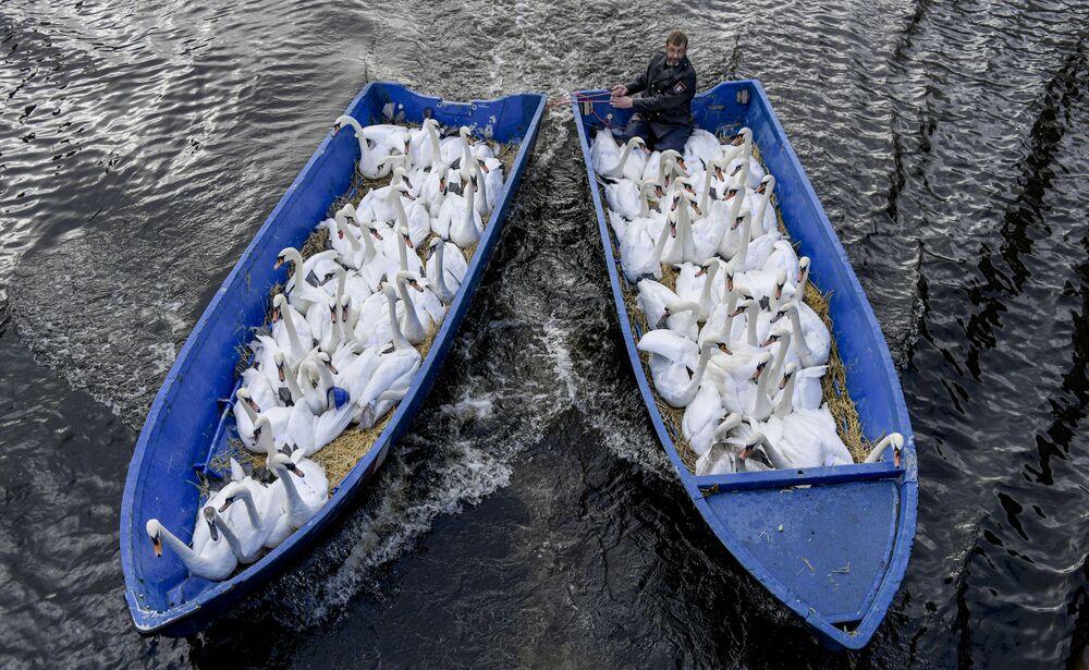 Pai dos Cisnes, Olaf Niess, levando cisnes para um abrigo de inverno para os pássaros na cidade alemã de Hamburgo