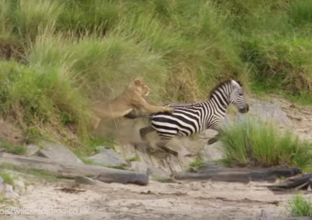 Fuga de Zebra