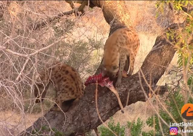 Hiena ganha refeição, mas perde para força da gravidade caindo de árvore (IMAGENS FORTES)