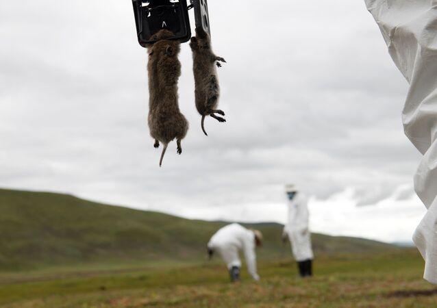 Equipe de prevenção de pragas atuando em prados do condado de Serxu, província autônoma tibetana de Garze, na China (arquivo)