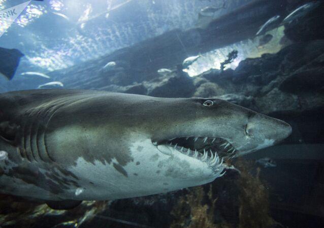 Tubarão em aquário de Shopping em Dubai