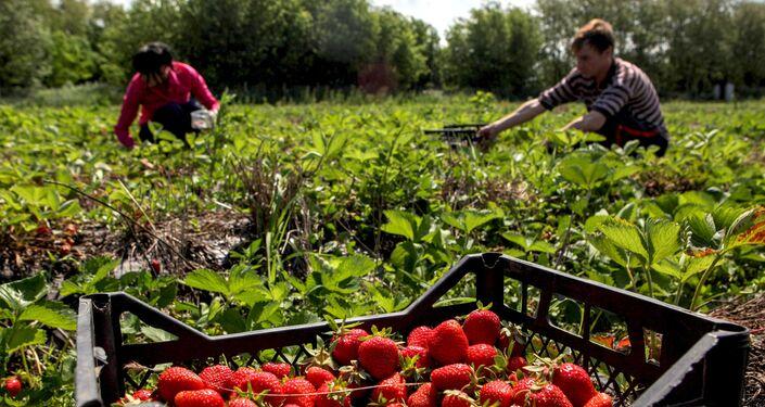 Colheita de morango em fazenda na região de Stavropol,  no sul da Rússia