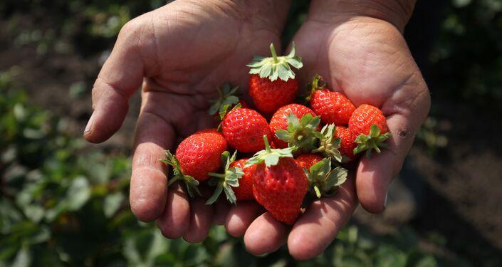 Morangos produzidos pela agricultura familiar na região de Krasnodar, na Rússia
