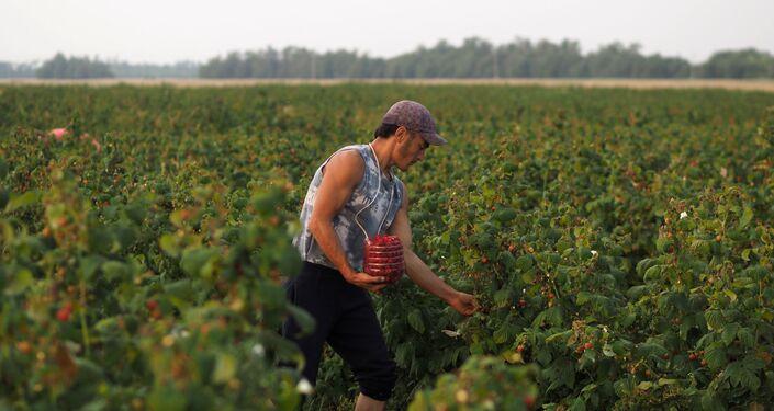 Agricultor colhe framboesas em fazenda na região de Kasnodar, na Rússia
