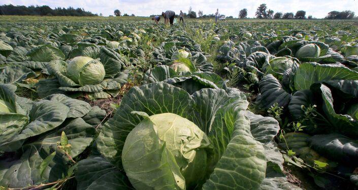 Campo de repolhos em fazenda na região de Kaliningrado, na Rússia.
