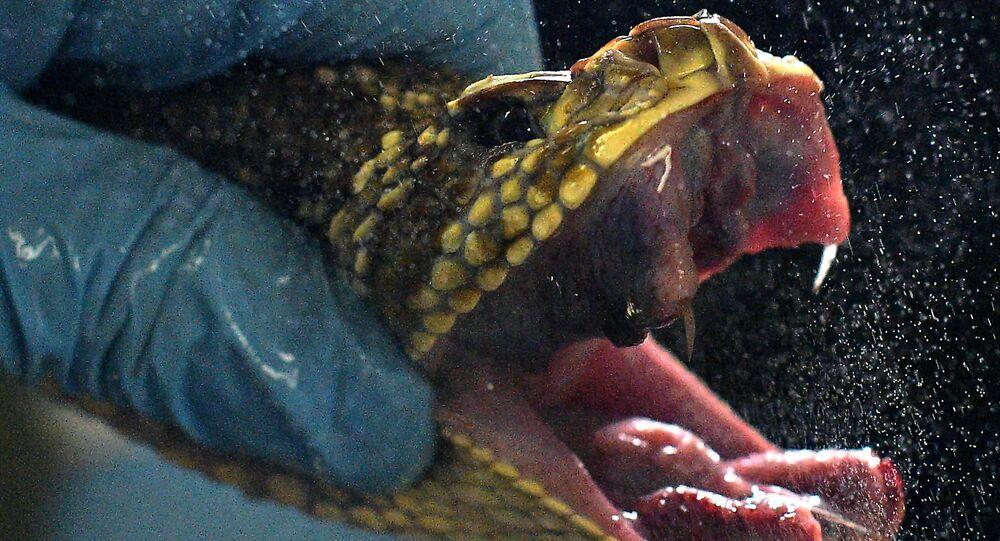 Extração de veneno de cobra no Instituto Butantan, em São Paulo, Brasil