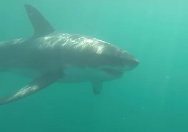 Tubarão-branco de 4 metros rodeia canoístas na costa sul-africana