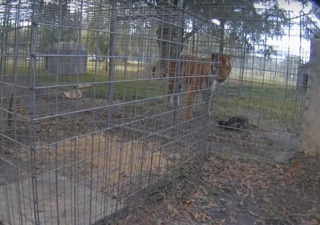 Tigre enjaulado ataca abutre que se faz de morto para sobreviver