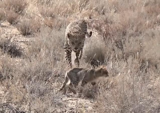 Gato selvagem se distrai e vira presa de leopardo.