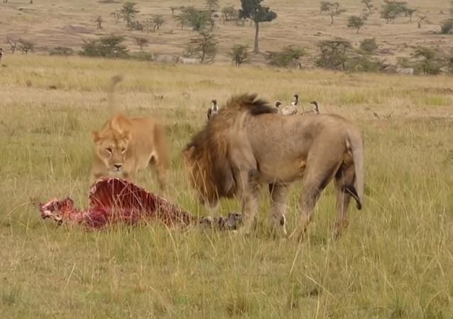 Enorme leão mostra a leoa como lidar com hienas esfomeadas