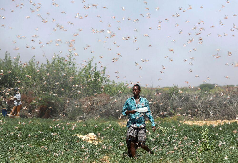 Agricultor somali em meio a infestação de gafanhotos nos arredores da cidade somali de Dusamareb