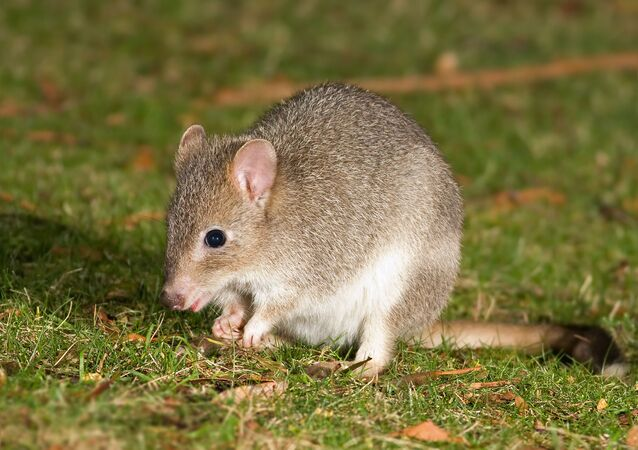 Bettongia anhydra