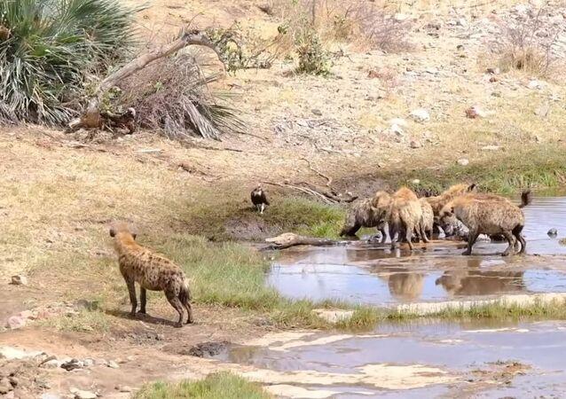 Leões acabam com almoço de grupo de hienas
