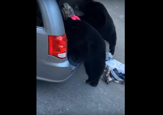 Ursos atacam carro