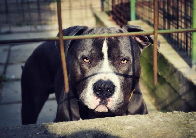 Cachorro pitbull (foto de arquivo)