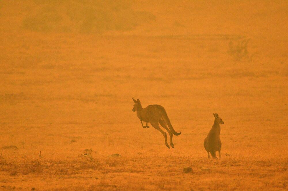 Canguru pula em campo afetado por incêndio na Austrália