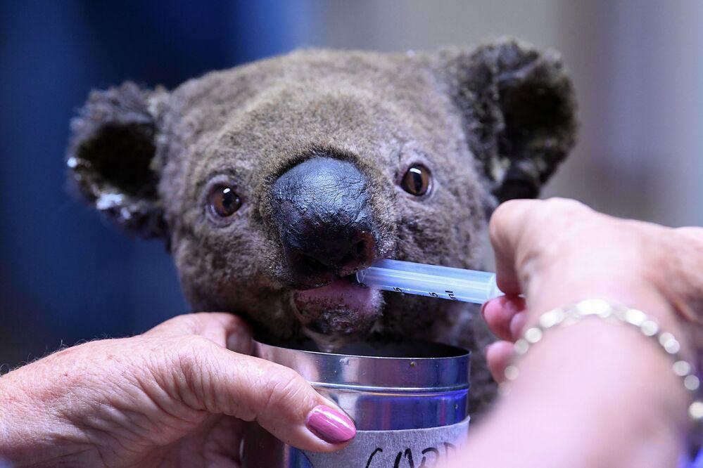 Coala resgatado é tratado em hospital na cidade australiana de Port Macquaire