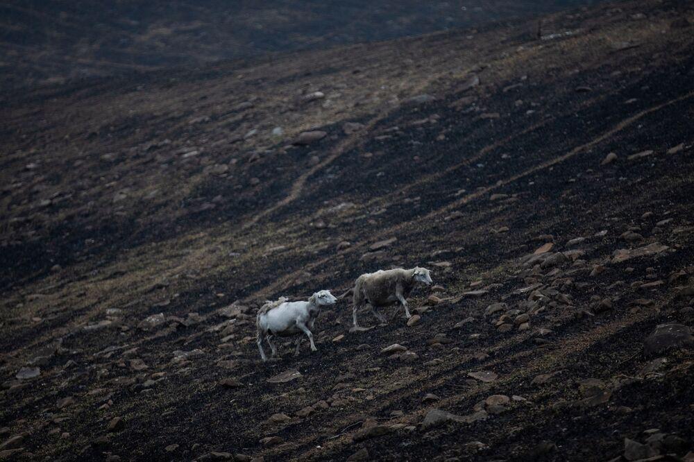 Ovelhas cruzam campo queimado por incêndio na Austrália