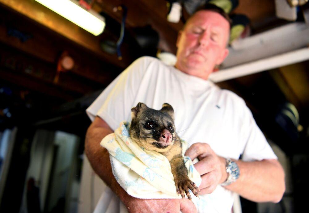 Cuscus é cuidado por voluntários após se ferir em incêndio na Austrália