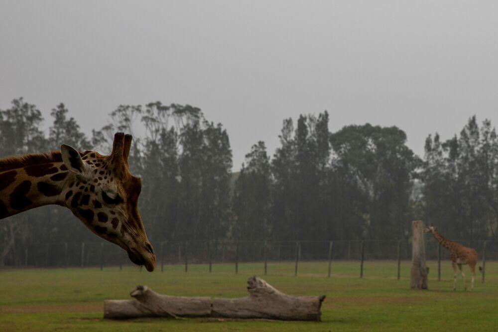 Girafa no Zoológico de Mogo, na Austrália
