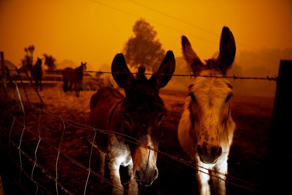 Animais durante incêndio desolador na Austrália