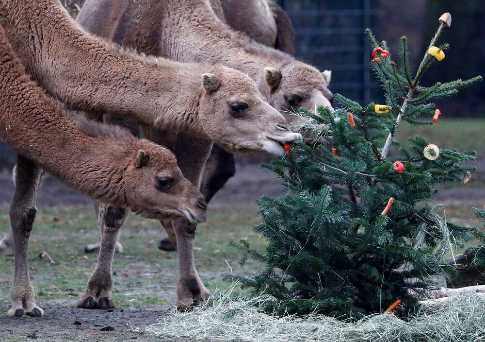 Camelos mordiscam árvore de Natal instalada no zoológico de Berlim, na Alemanha.
