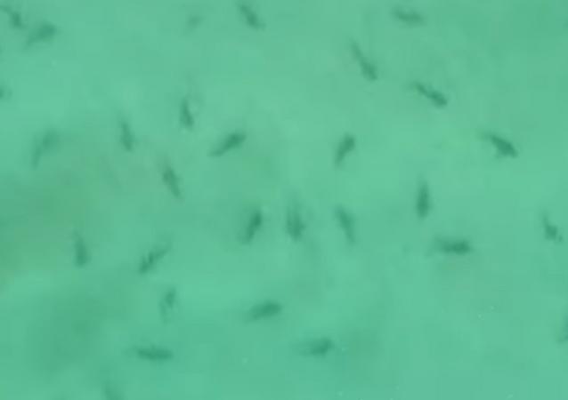 Centenas de tubarões são flagrados em praia da Nova Zelândia