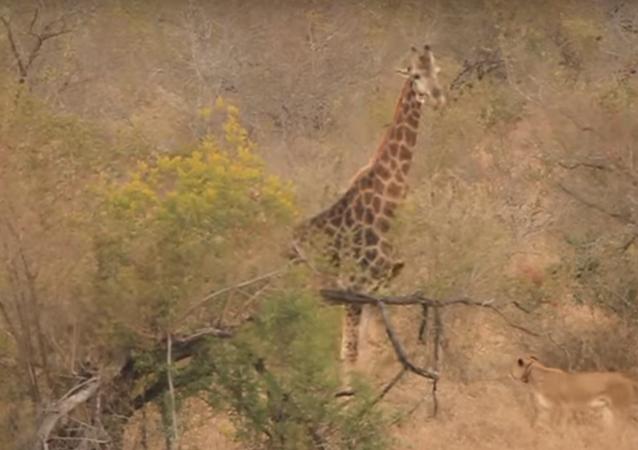 Girafa enfrenta leoas