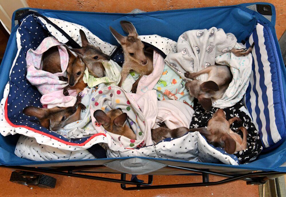 Cangurus órfãos devido a acidentes e incêndios no hospital veterinário de um zoológico australiano, 15 de janeiro de 2020