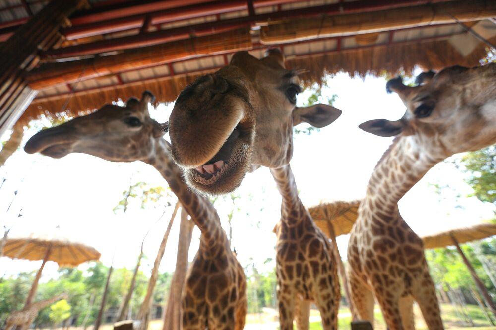 Girafas são fotografadas no parque Vinpearl Safari, na ilha de Phu Quoc, Vietnã