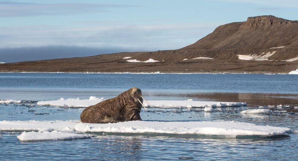 Morsa é vista na costa russa do  Ártico. Exploração de recursos naturais deve conviver com preservação do ecossistema frágil da região