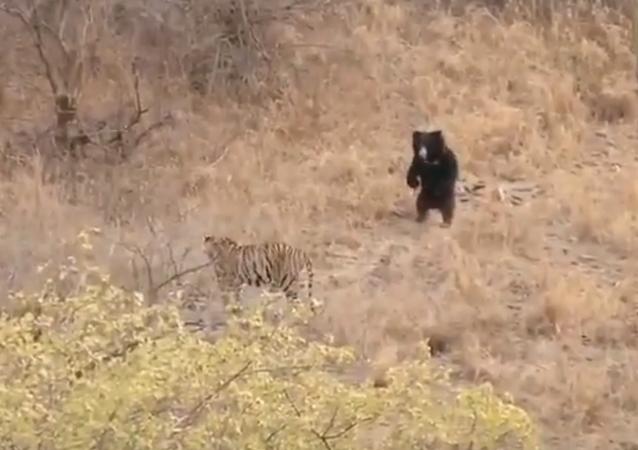 Urso assusta tigre