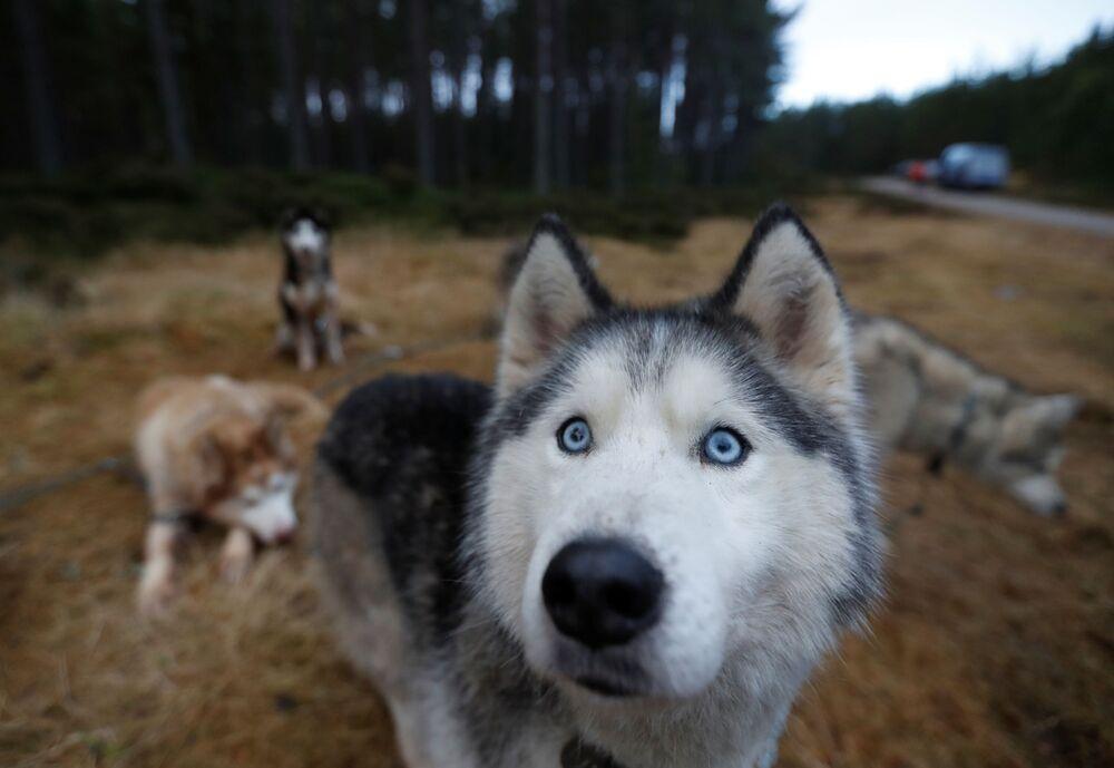 Cães siberianos antes de corrida de treino