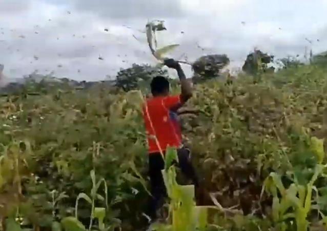 Gafanhotos devoram plantação e deixam fazendeiros desesperados no Quênia