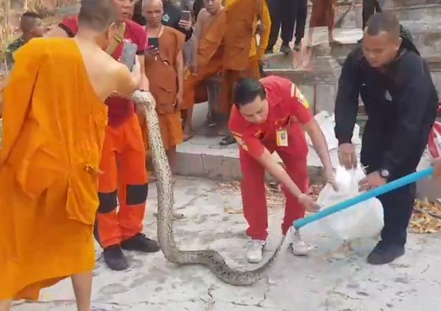 Seis pítons são retiradas de fossa sanitária em templo budista