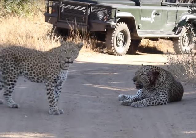 Leopardo fêmea aparta briga de pretendentes que acaba em sangue