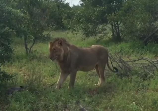 Leão caça javali