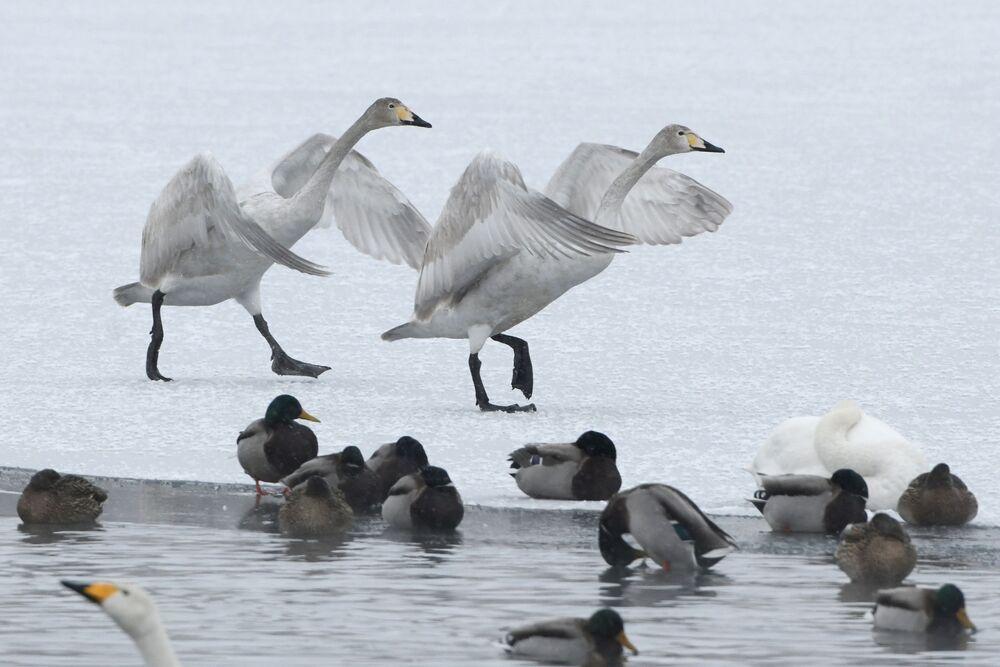 Cisnes e patos em lago na reserva protegida Lebedinoe Ozero na região de Altai, Rússia