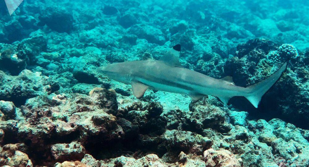 Tubarão próximo a coral