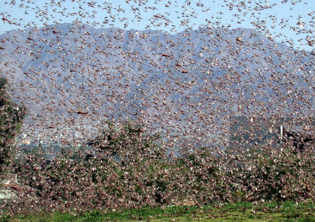 Invasão de gafanhotos (imagem referencial)