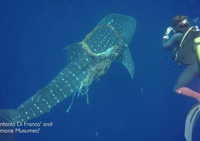Mergulhadores resgatam tubarão-baleia nas Maldivas